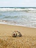 Rapana auf dem Strand Lizenzfreie Stockfotografie