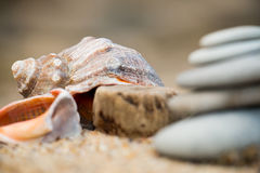 Rapana auf sandigem Strand Stockbilder