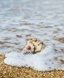 Rapana on the beach. A rapana on the beach water front Stock Photography