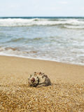 Rapana on the beach Royalty Free Stock Photography