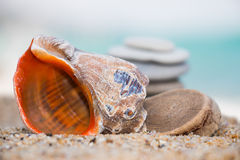 Rapana en la playa arenosa Fotografía de archivo