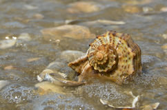 Rapana lying on the ocean washed sea wave. With bubbles Royalty Free Stock Images