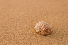 Rapana na areia Imagem de Stock