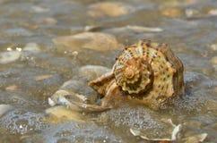 Rapana se trouvant sur la vague de mer lavée par océan Images libres de droits