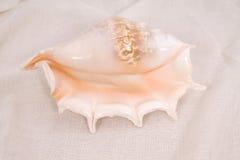 Rapana seashell Stock Image