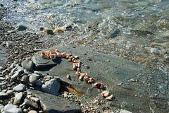 Rapana Seashells in stone Stock Photography