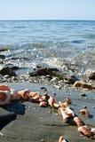 Rapana Seashells in stone Stock Image