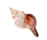 Rapana shell isolated Stock Photos