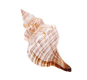 Rapana shell isolated Stock Images