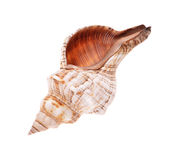 Rapana. Shell isolated on white background. Close-up view Royalty Free Stock Photography