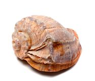 Rapana shell Royalty Free Stock Images