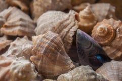 Rapana shells Royalty Free Stock Photos