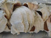 Rapana shells under the bright sun. Of the original invoice Stock Images