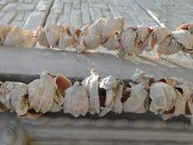 Rapana shells under the bright sun. Of the original invoice Stock Photo