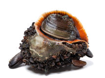 Rapana venosa covered with mussels Stock Photo