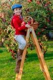 Rapariga que escolhe maçãs orgânicas no Basket.Orchard. Imagens de Stock Royalty Free