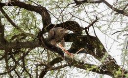 Rapax de Tawny Eagle Aquila avec la mise à mort de cigogne dans un arbre d'acacia Image stock