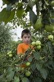 Rapaz pequeno bonito por uma árvore de Apple com maçãs Fotografia de Stock