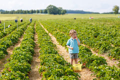 Rapaz pequeno na exploração agrícola orgânica da morango Foto de Stock