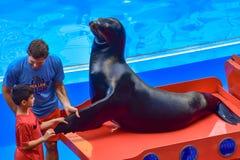 Rapaz pequeno que toma a aleta do leão-marinho, guiada pelo treinador em Seaworld fotografia de stock