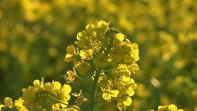 Rape  de Fresh oilseed filme