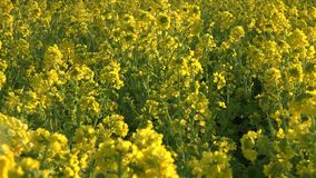 Rape  di Fresh oilseed stock footage