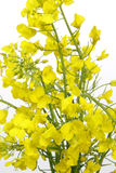 Rape. Close-up of yellow blooming rape over white background Royalty Free Stock Image