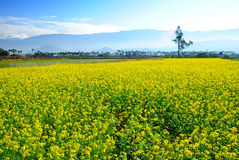 Rape. Taiwan's Hualien and Taitung valley will bloom every year in January rape Stock Image
