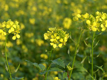 . Field of rapeseed oil crop royalty free stock image
