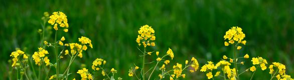 Rape. Yellow rape blossoming in spring Royalty Free Stock Photos