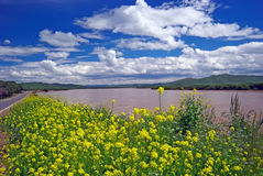 Rape. Taken in the upper reaches of the Yellow River in China,Was taken in August 2008 Stock Photography