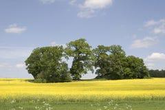 Rape 2. Rapefield with trees Stock Photo