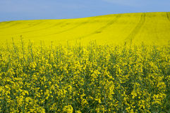 Rape. Field for oil and renewable energy Stock Images