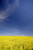 Rape. A rape field with blue sky Stock Image