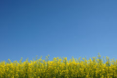 Rape. Agriculture. Rape field with cloudless sky Royalty Free Stock Photos