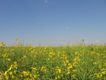 Rape. Field of rape Royalty Free Stock Photos