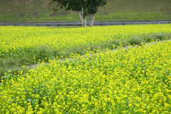 rape agricultural field Stock Images