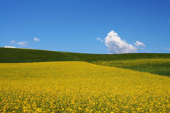 Rape, barley fields under sky and white clouds Royalty Free Stock Photo