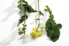 Rape bloom, (Brassica napus), close-up Royalty Free Stock Photos