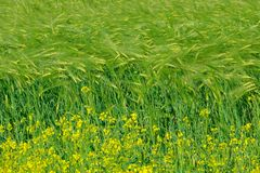 Cole flowers and highland barley. The cole are blooming near by field of highland barley royalty free stock photos