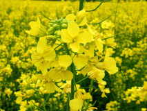 Rape blossom. Rapeseed fields in full bloom, there is a very good mood Royalty Free Stock Image