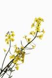 Rape blossom Royalty Free Stock Image