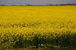 Rape blossom field Stock Photos