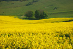 Rape blossoms Royalty Free Stock Photos