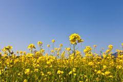 Rape blossoms. This is a picture of rape blossoms blooming in a field of spring Royalty Free Stock Image