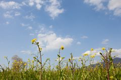 Rape blossoms. This is a picture of rape blossoms blooming in a field of spring Stock Images