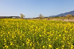 Rape blossoms. This is a picture of rape blossoms blooming in a field of spring Royalty Free Stock Photo