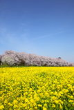 Rape blossoms and cherry tree Royalty Free Stock Photos