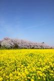 Rape blossoms and cherry tree. In Saitama, Japan Royalty Free Stock Photos