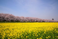 Rape blossoms and cherry tree Stock Image